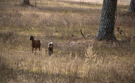 goats in the pasture