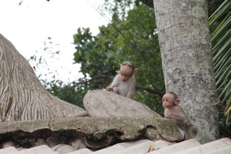 grabing: The rhesus macaque monkey (Macaca mulatta)