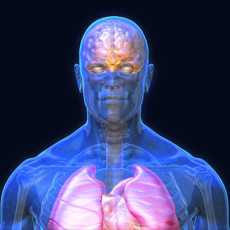 3D Rendering, Conceptual human organs and muscle, Blue shade anatomy man X ray Bones Heart lung brain liver, front view on dark background, Clipping path. Stock Photo