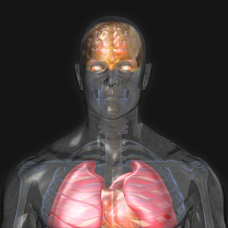 3D Rendering, Conceptual human organs and muscle, Reflect shade anatomy man X ray Bones Heart lung brain liver, front view on dark background, Clipping path.