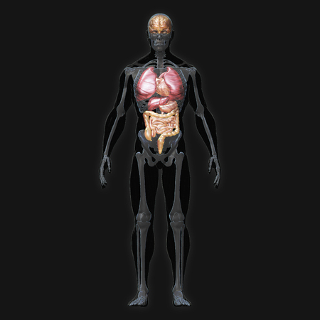 3D Rendering, Conceptual human organs and muscle, Black shade anatomy man X ray Bones Heart lung brain liver, Full body front view on dark background, Clipping path. Stock Photo