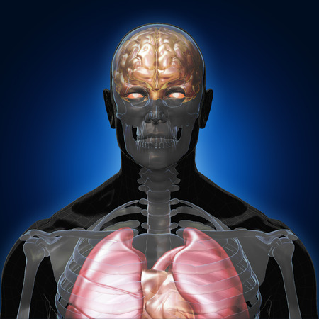 3D Rendering, Conceptual human organs and muscle, Black shade anatomy man X ray Bones Heart lung brain liver, front view on dark background, Clipping path. Stock Photo