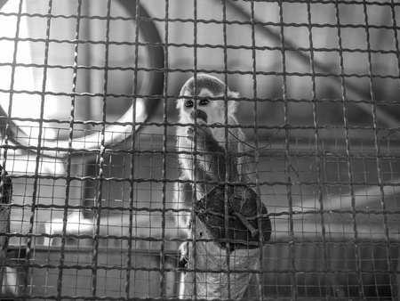 The monkeys in a cage. Zoo is a hell for animals.