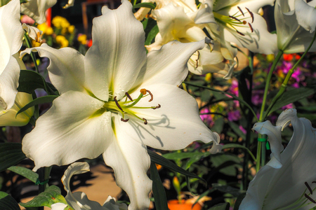 Fresh lilly flowers with in garden Stock Photo