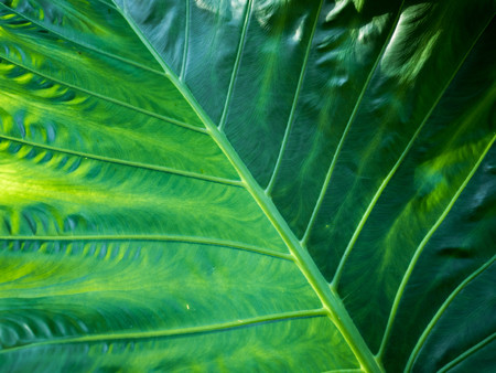 Close up texture of a green leaf as background