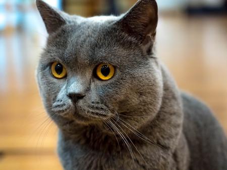 British Short hair cat blue yellow eyes. Stock Photo