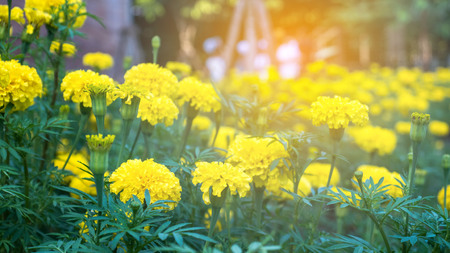 Lots of beautiful marigold flowers in the garden. Marigold flowers with beautiful on blur background.