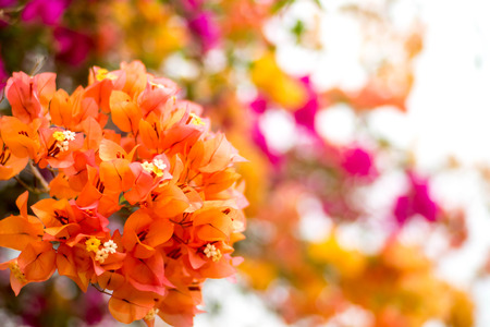 Beautiful natural arch on the way to the ocean of flowers in bougainvillea isolated on white background