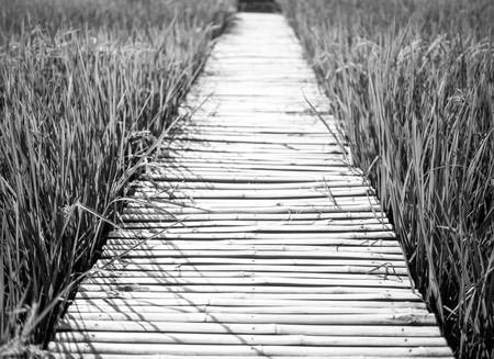 Bamboo bridge in the middle of rice field, black and white Stock Photo