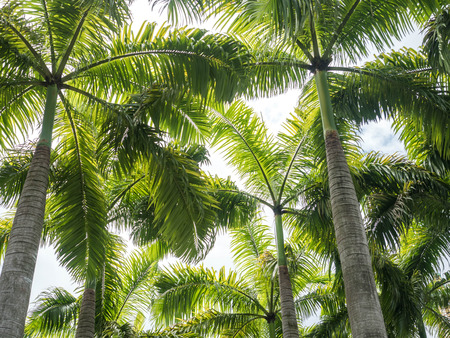 palm trees viewed from below Stockfoto