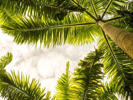 palmiers vus d'en bas