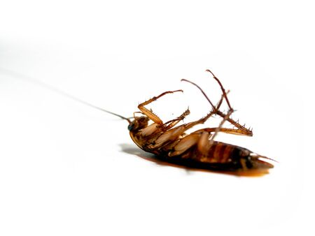 Close-Up Of cockroach isolated on white background  insecticide products Фото со стока