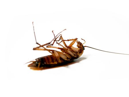 Close-Up Of Dead Cockroach isolated on white background / insecticide products