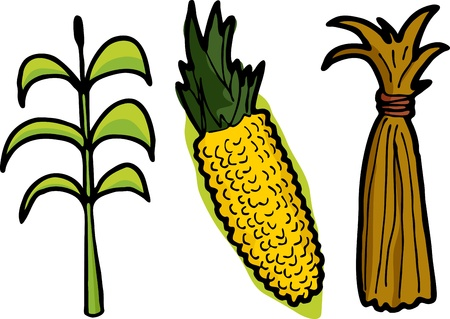 corn stalk: Corn as a plant, freshly picked, and dead stalks tied in a haystack