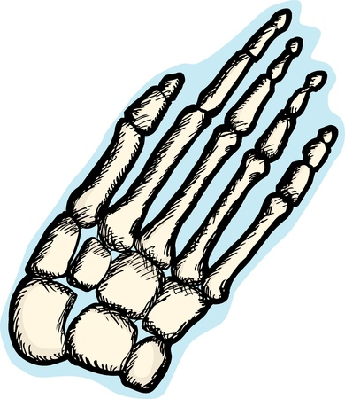 Illustration of the human hand skeletal structure Vector