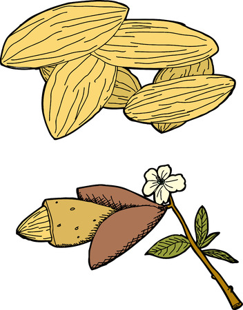 cross section of tree: Hand drawn graphic of almonds and almond tree branch
