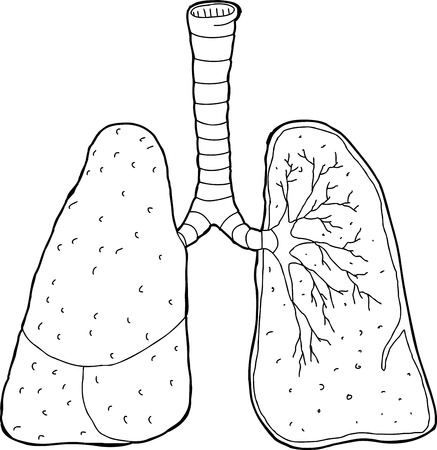 trachea: Cross section drawing of human lungs and trachea