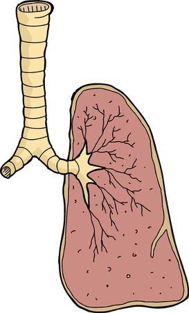 trachea: Single hand drawn human lung and trachea