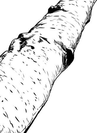 Esbozado ilustración de la parte del tronco de árbol de abedul sobre blanco