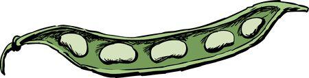 Illustration of fresh green beans in open pod over white.