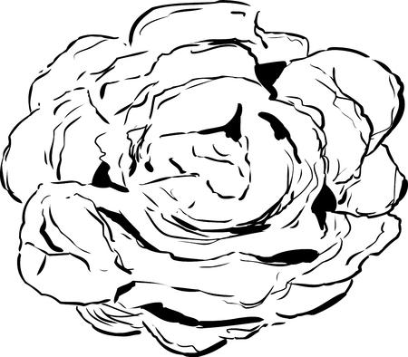 Umrissene Ansicht von oben nach unten über großen offenen Kopf des Kopfsalates über Weiß