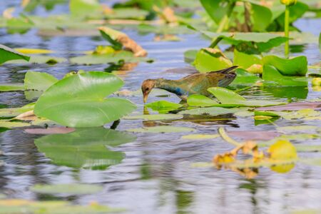 A female Purple Gallinule walking on lily pads in the swamp at Everglades National Park, Florida November 2017 Stock Photo