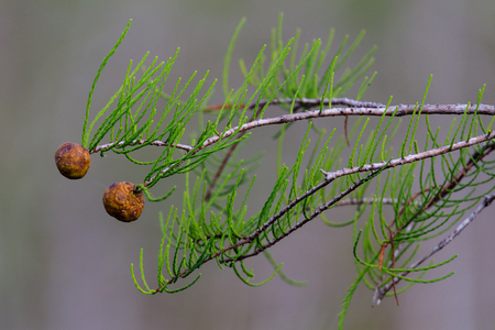 Close up of a branch from a Dwarf Cypress trees growing in a swamp at Everglades National Park, Florida, November 2017