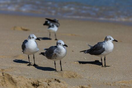 Seagulls gathering in hopes for local beach goers to drop food at Fort Lauderdale, Florida looking for food, November 2017