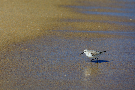 A small Sanderling walks the beach of Fort Lauderdale, Florida looking for food, November 2017