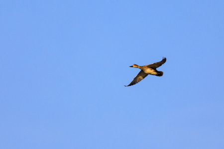 A female Mallard Duck flies over Sherry Lake with a blue sky background at the Oxley Nature Center in Tulsa, Oklahoma, December 2017