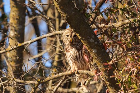 A barred owl notices its being watched while it was soaking up the sun and opens its eyes to look around