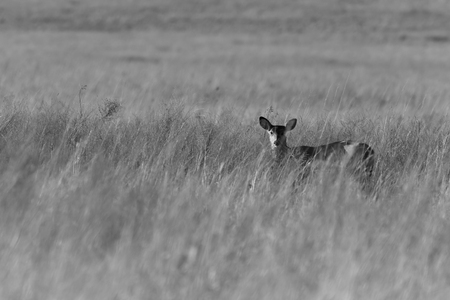 White Tailed Deer roaming the grasslands of the Tallgrass Prairie Preserve located in Pawhuska Stock Photo