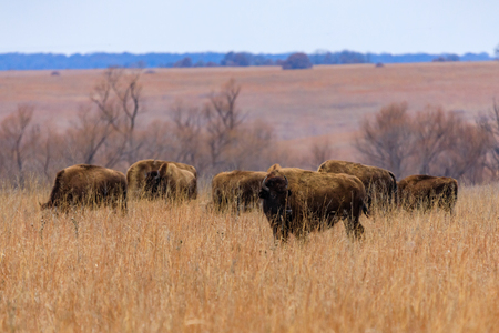 American Bison, (buffalo), roam wild within the Tallgrass Prairie Preserve in Pawhuska, Oklahoma