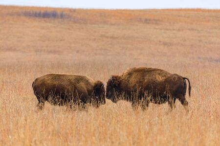 Two American bison face each other within the Tallgrass Prairie Preserve in Pawhuska, Oklahoma 版權商用圖片
