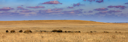 Wide view of the Tallgrass Prairie Preserve with a herd of American bison in Pawhuska, Oklahoma Banco de Imagens
