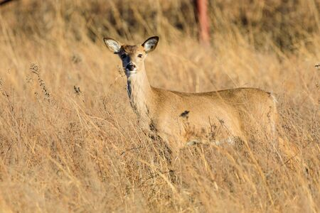 A white-tailed deer stands within the taa grass at the Tallgrass Prairie Preserve in Pawhuska, Oklahoma