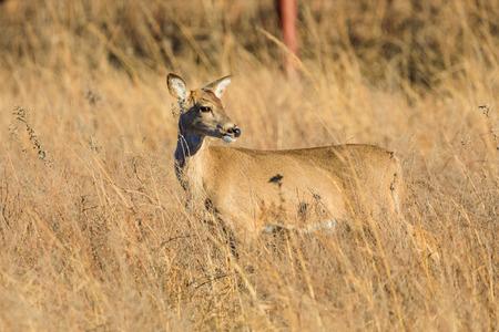 A white-tailed deer looks towards the setting sun at the Tallgrass Prairie Preserve in Pawhuska, Oklahoma Stock Photo