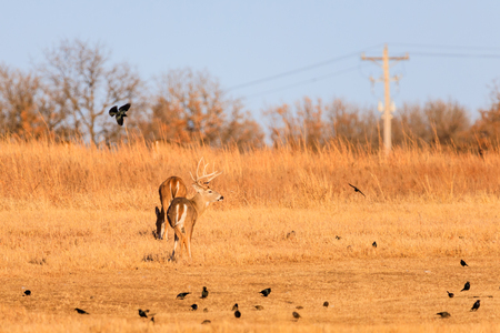 A flock of crows surrourd a white-tailed buck and doe at the Tallgrass Prairie Preserve in Pawhuska, Oklahoma