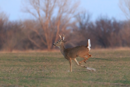 A male White Tailed Deer runs across a field along a back road in Oklahoma 2018
