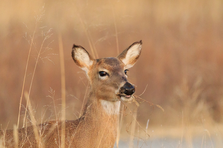 A Female White Tail Deer enjoying the grasslands
