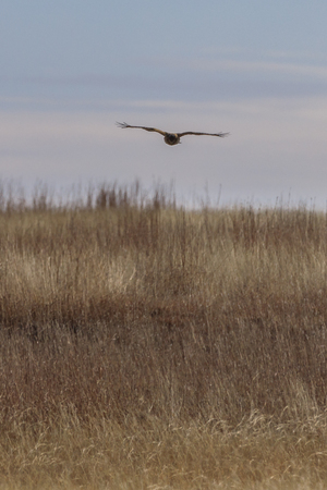 A Northern Harrier hunts for its meal within the grasses of the plains near Salt Plains National Wildlife Refuge, Oklahoma, February 2018 版權商用圖片