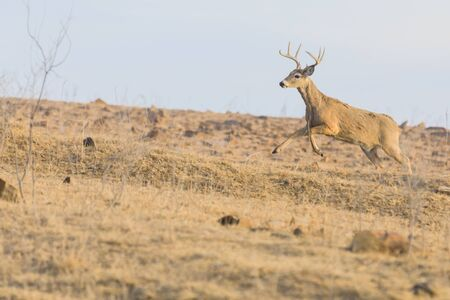 A White-Tailed buck runs up a rocky hill at the Tallgrass Prairie Preserve in Pawhuska, Oklahoma, February 2018