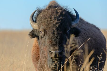An American Bison stands in the grass at the Tallgrass Prairie Preserve in Pawhuska, Oklahoma