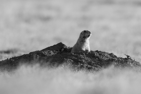 A Black Tailed Prairie Dog comes out of its hole to take a look around before running across the prairies of the Wichita Mountains Wildlife Refuge located in Indiahoma, Oklahoma 2018 写真素材