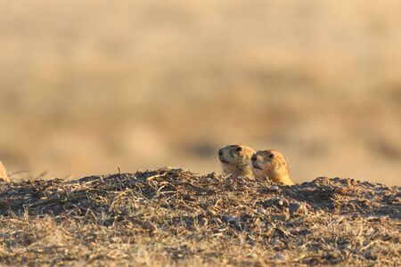 A couple of impatient  juvenile Black Tailed Prairie Dogs peek out of a hole at the Wichita Mountains Wildlife Refuge  in search of their mamma and the food shes suposed to be bringing back. Indiahoma, Oklahoma 2018