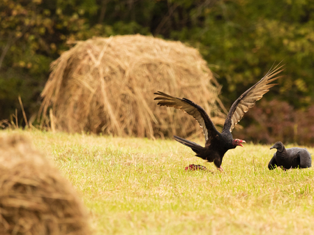 A Black Faced Vulture & some Turkey Vultures Squabble over a carcuss that is in the pasture located in Teresita Stock Photo