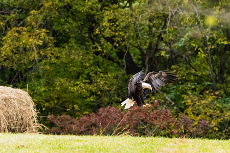 An American Bald Eagle landing in a pasture to take advantage of some carcass that was left behind, Located in Teresita Reklamní fotografie - 117671497