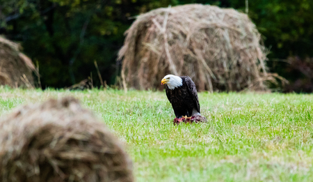 After the Vultures left, this American Bald Eagle took full advantage of the left overs. Located in Teresita