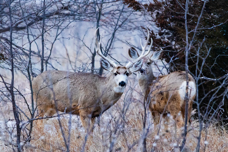 Mule Deer in the woodlands of Scott City, Kansas 2019 免版税图像