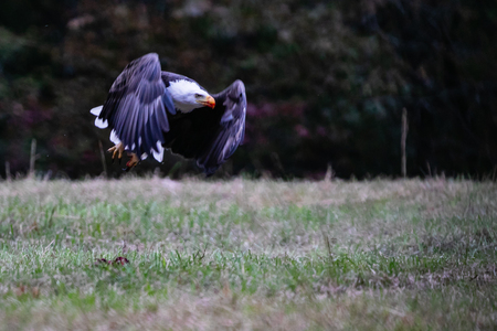 Bald Eagle picks clean the meat off a white tailed deer in a farm pasture near Tahlequah Oklahoma